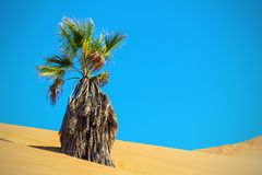 Dry palm in the sand dune. Namib desert. Lonely dry palm in the sand dune. Namib desert royalty free stock image
