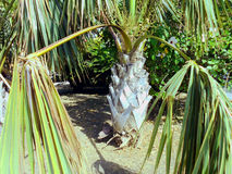 Dry palm tree branches Stock Images