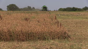 Dry peas plants and combine harvest field. Stork birds stock video