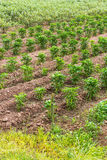 Dry pepper plantation. Royalty Free Stock Images