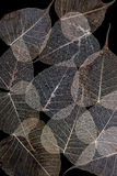 Dry Pho leaf Royalty Free Stock Photography