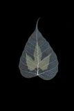 Dry Pho leaf Stock Photos