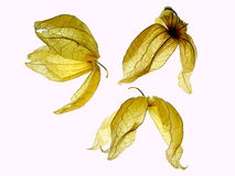 Dry physalis Royalty Free Stock Photos