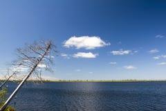 Dry pine. Falling dry pine above dark lake Royalty Free Stock Image