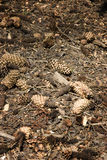 Dry pine cone Royalty Free Stock Image