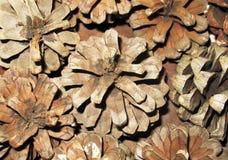 Dry pine cones Royalty Free Stock Photo
