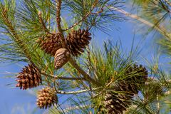Dry pine cones on a pine tree in the wild forest royalty free stock images