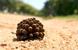 Dry Pine Flower on a sand ground. Dry Pine Flower on the sand ground Royalty Free Stock Image