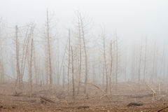 Dry pine and fog. stock photo