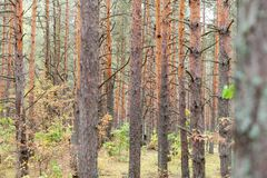 Pine forest with many trees at autumn royalty free stock photo