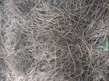 Dry pine needles Royalty Free Stock Photos