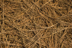 Dry pine needles on the ground Stock Images
