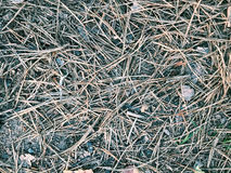 Dry pine needles lie in the forest Stock Image