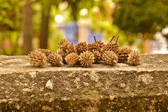 Dry pine seeds on concrete wall Stock Photography