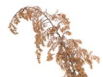 Dry pine tree Stock Images