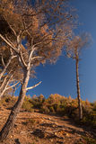 Dry pine trees and blue sky. Coastal forest in Morocco Royalty Free Stock Photography