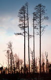 Dry pine trees silhouette Stock Photos