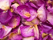 Dry pink rose petals Royalty Free Stock Images