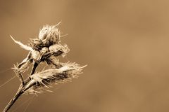 Dry plant Royalty Free Stock Photography