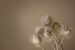 Dry plant. Close-up of dry burdock flowers / Arctium Royalty Free Stock Photo