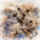 Dry plant Royalty Free Stock Images