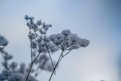 Dry plant covered with snow on a frosty winter day Royalty Free Stock Photography