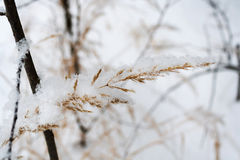Dry plant covered with snow in winter forest Royalty Free Stock Photography