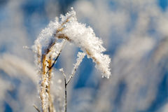 Dry plant frosted close up Stock Photography