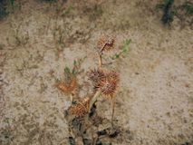 Dry Plant. Dry plant on the dry ground Stock Image