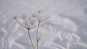 Dry plant in hoarfrost against winter snow field background at sunny day. 4k stock video footage