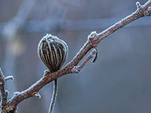Dry plant with hoarfrost Stock Photos