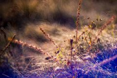 Dry plant, nature detail. Dry grass in morning dew, close-up macro nature detail of wild meadow Royalty Free Stock Photography