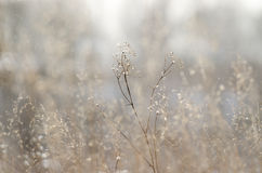 Dry plant over field background Stock Photography