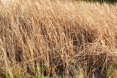 Dry  Plant in river side Royalty Free Stock Images