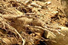 Dry plant roots Royalty Free Stock Images