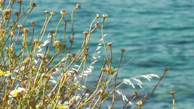 Dry plant and the sea. Video stock footage