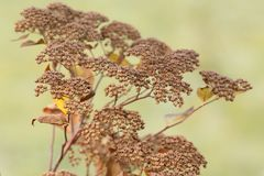 Dry plant with seeds in the city`s autumn park or in the garden. Dry autumn plant with seeds in the city`s autumn park or in the garden royalty free stock photography