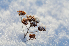 Dry plant in snow on a frosty sunny day in winter Stock Photography