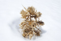 Dry plant in snow. Royalty Free Stock Images