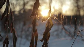 Dry plants against a background of bright sun in winter. slow motion video.  stock video footage