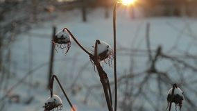 Dry plants against a background of bright sun in winter. slow motion video.  stock footage