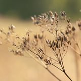 Dry plants with. Dry autumn grass with umbellate and seeds Royalty Free Stock Photo