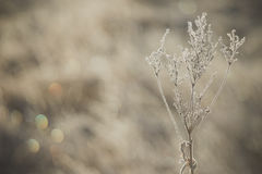 Dry plants covered by ice crystals. Open aperture with soft bokeh Stock Image
