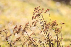 Dry plants with golden bokeh Royalty Free Stock Photo