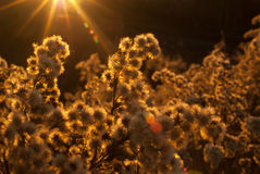 Dry plants in golden light Royalty Free Stock Image