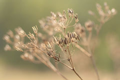 Dry plants with seeds Royalty Free Stock Photography
