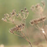 Dry plants with seeds Royalty Free Stock Images