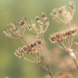 Dry plants with seeds Stock Photography