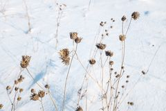 Dry plants in snow, meadow at winter. Background.  stock images