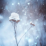 Dry plants in snow in the winter. Winter nature Stock Photos